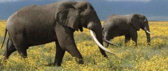Слоны во Вьетнаме